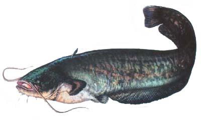 pecanje soma