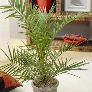Palma cvece