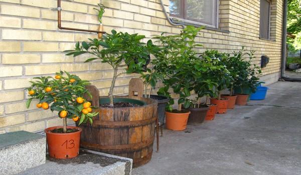 Limun i pomorandza