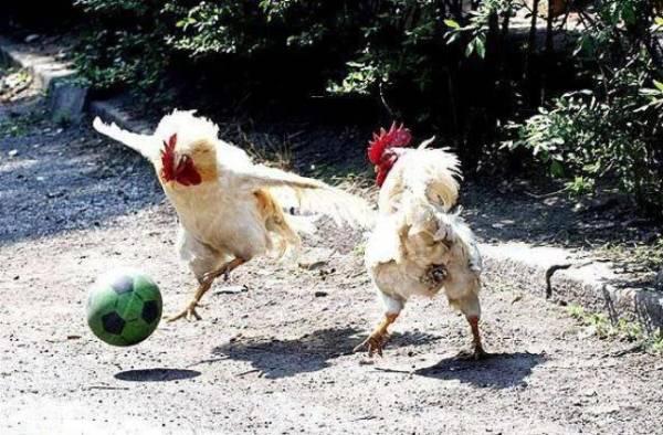 Da li kokoške mogu da polete ?