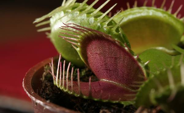 biljke mesozderke zanimljivosti