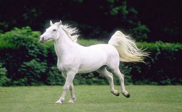 lipicaneri konji