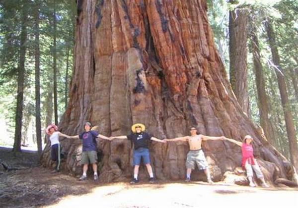 najvece drvo na svetu