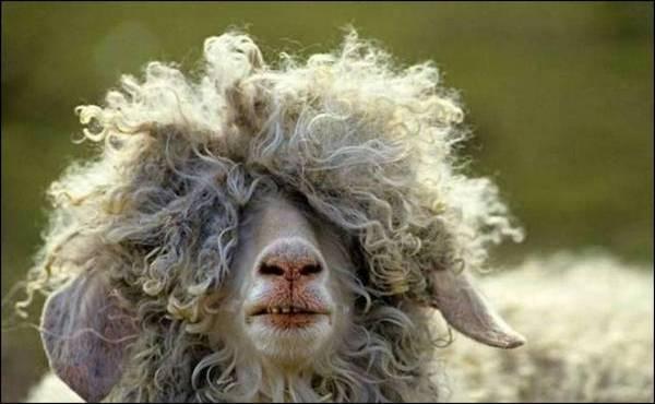 smesne ovce