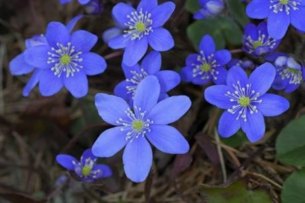 anemone gajenje i nega