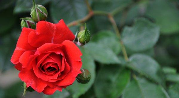 crvena-ruza