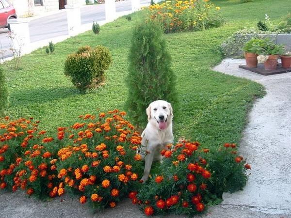 kadifa cvece u vrtu