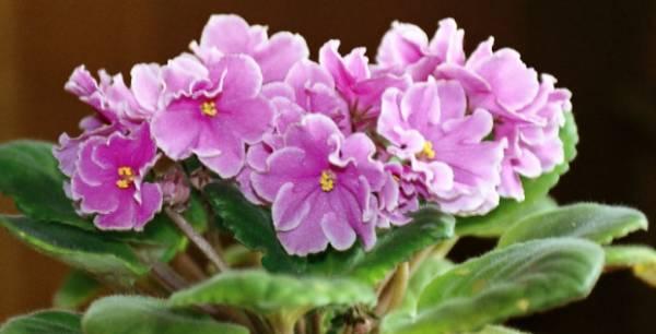 ljubicica cvetovi