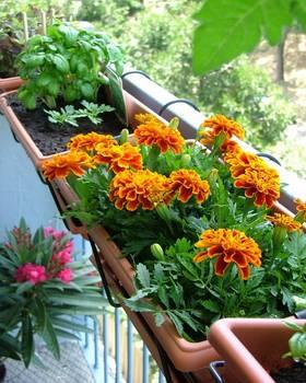 neven uzgoj na balkonu