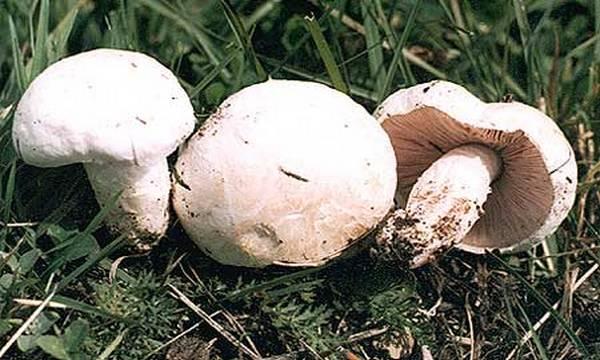 rudnjaca gljiva