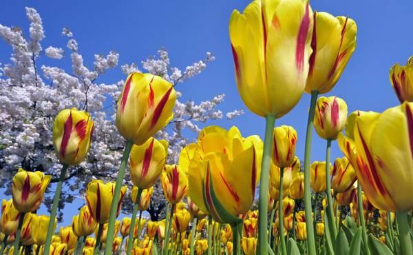 tulipani cvetanje