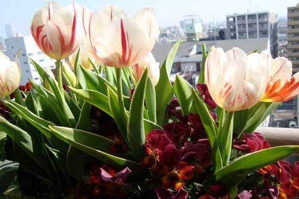 tulipani na balkonu