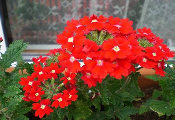 verbena-biljka