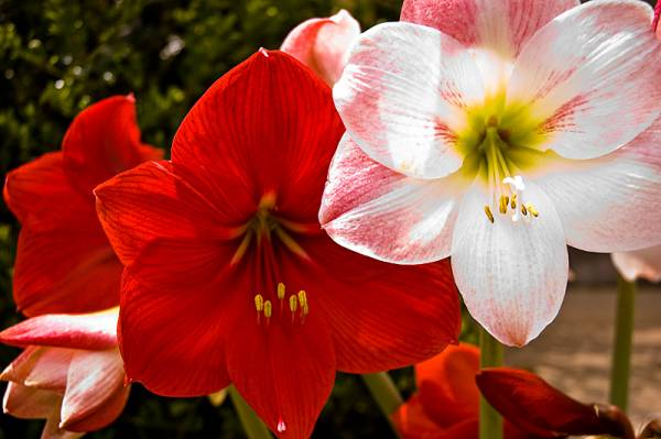 Amarilis cvece
