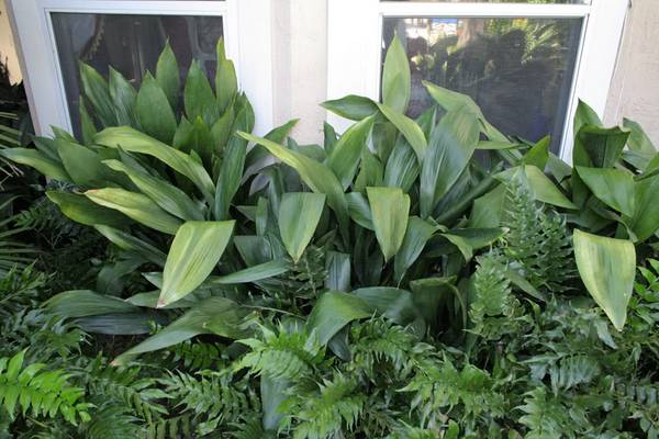 Aspidistra sobna biljka