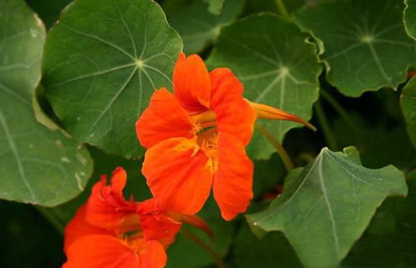Dragoljub - bastensko cvece