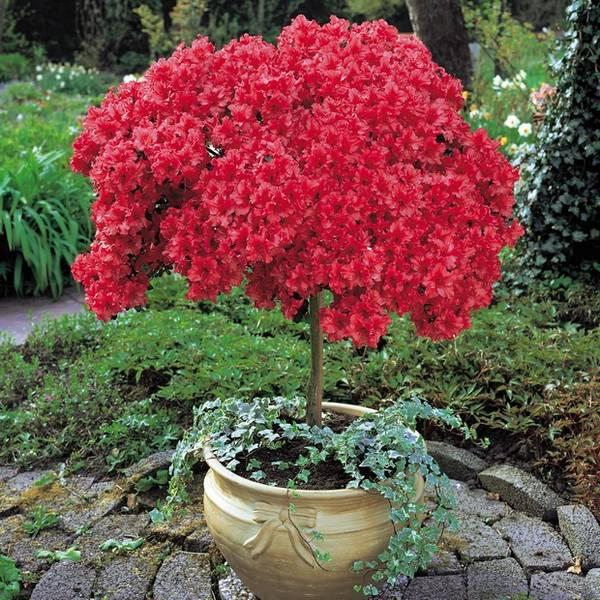 azaleja cvece