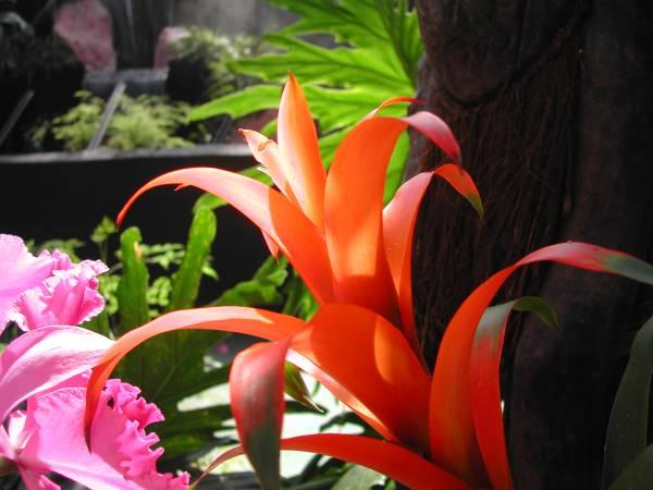 bromelija sobna biljka