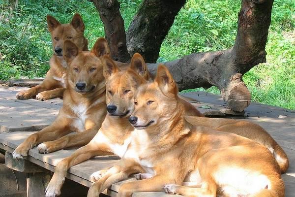 dingo divlji pas