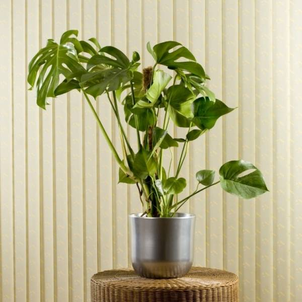 filadendron-cvece