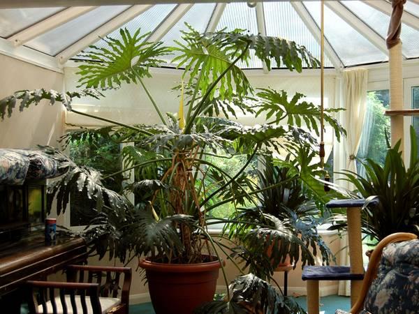 filadendron uzgoj i nega