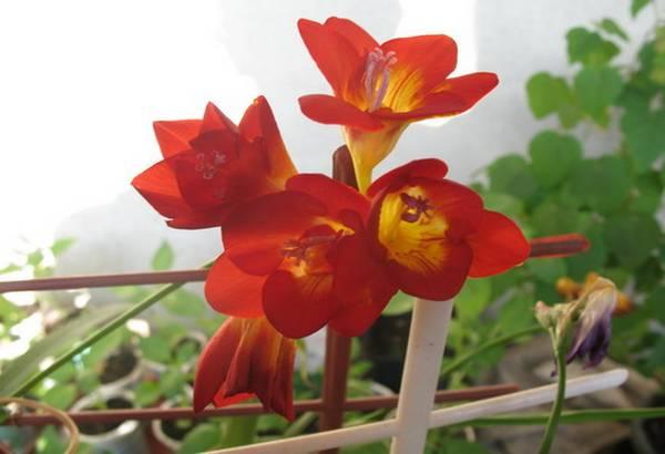 frezija-cvetovi