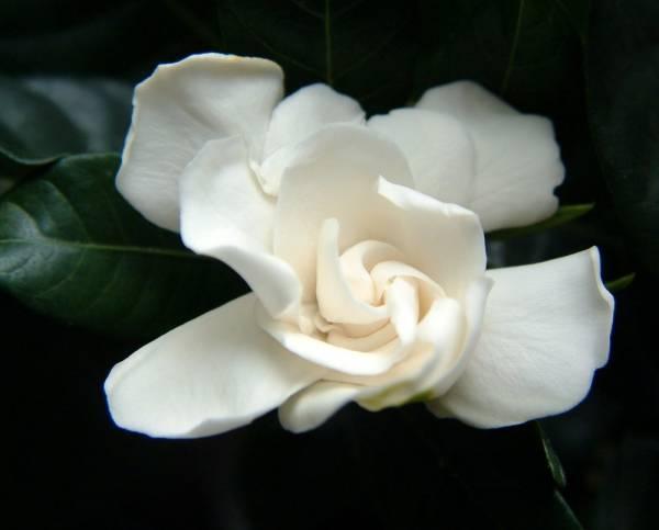 gardenija cvet