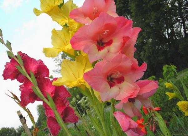 gladiole cvece uzgoj