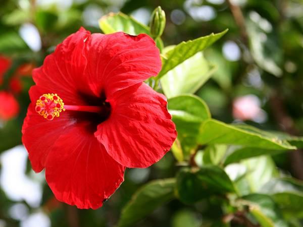 hibiskus gajenje i nega