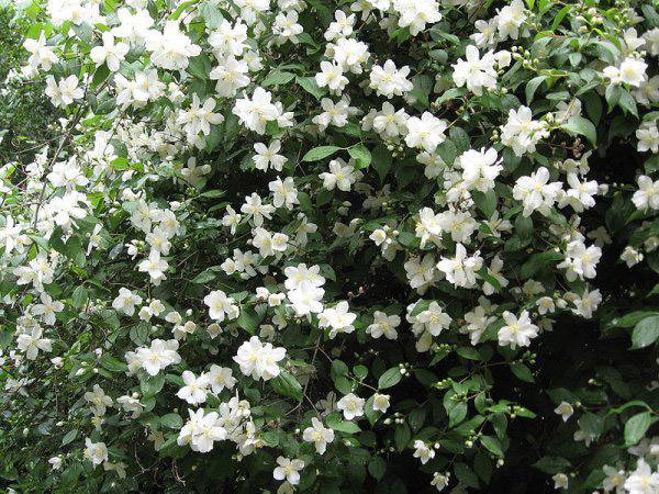 jasmin cveće