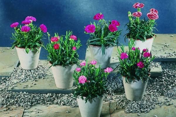 Karanfil cveće - nega i uzgoj