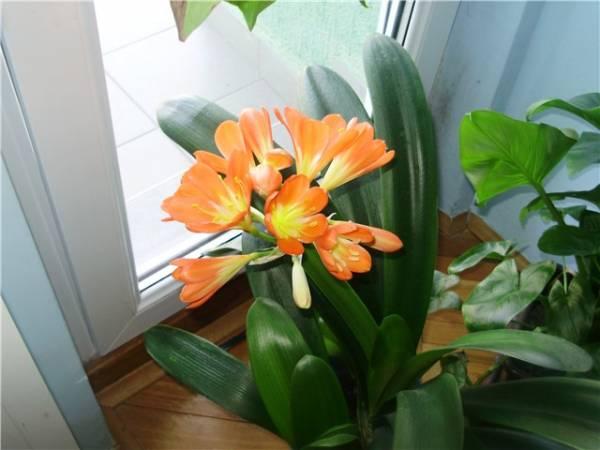 klivija cvece