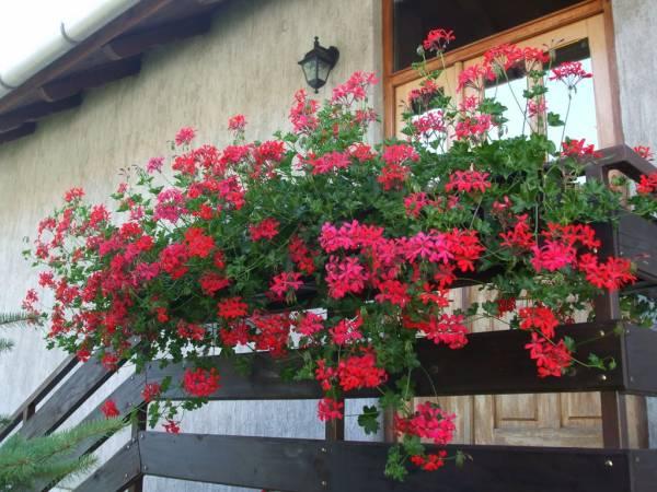 muskatle balkonsko cvece