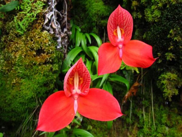orhideja cveće