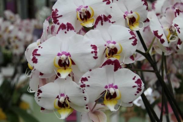 orhideje nega uzgoj