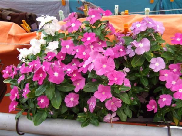 cveće vinka za terasu i balkon