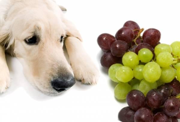 Grožđe je takođe veoma štetno za pse