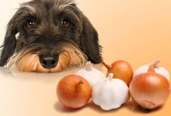 Od luka, pas dobija anemiju