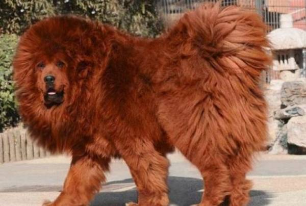 tibetanski mastif2
