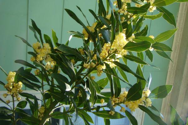 Lovorov list i limun