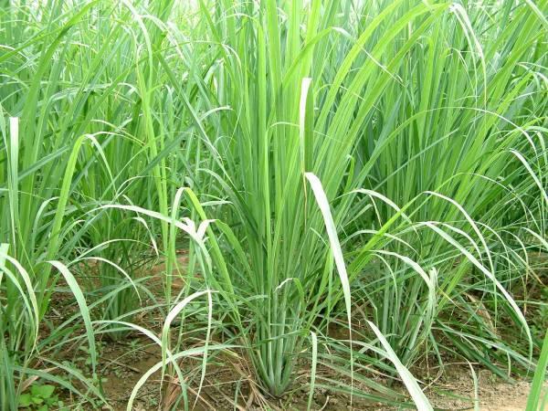 limunova trava2