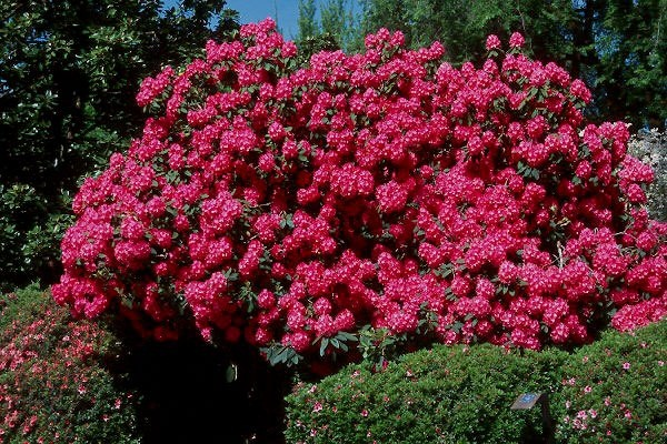 rododendron2