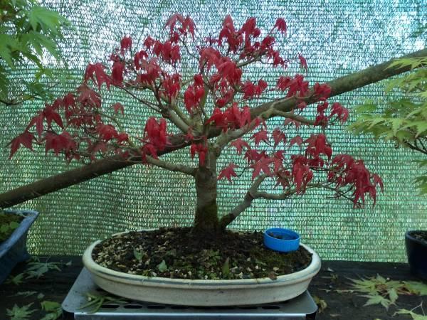 japanski javor1