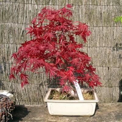 japanski javor2